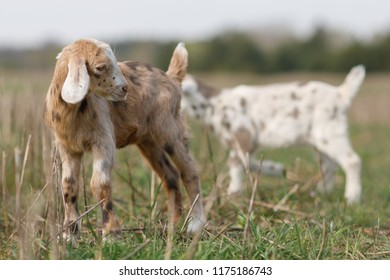 Brown little anglo nubian goatling in the meadow