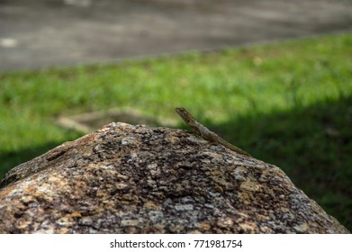 Brown lizard on stone