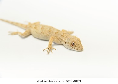 Brown lizard on white background