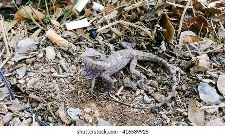 Brown lizard Spawning on dirty ground
