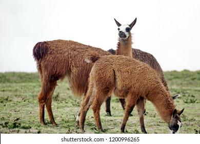 Brown llama grazing in the pre-Colombian ruins of Cochasqui, Ecuador