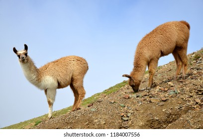 Brown llama (lama glama), mammal living in the South American Andes.