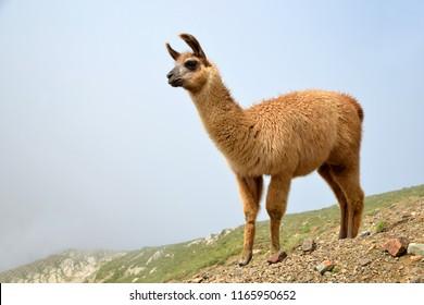 Brown llama (lama glama) in mountain landscape.