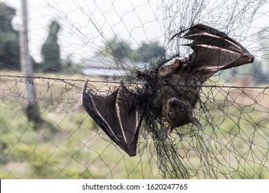 Brown long-eared Bat hanging - Bat carcasses on the net