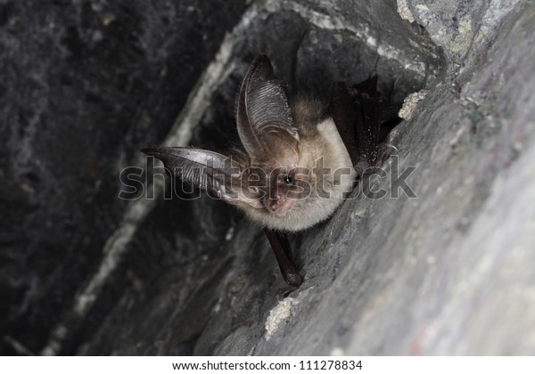 Brown long-eared bat, Smaland, Sweden