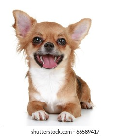 Brown long-haired chihuahua puppy lying on a white background