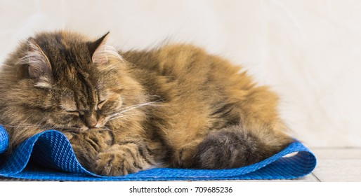 Brown mackerel cat with a paw on the whiskers, female purebred siberian