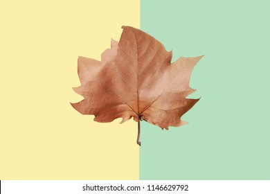 Brown maple leaf on yellow and green background, close-up. Autumn Arrives. Fall Background. Flat lay