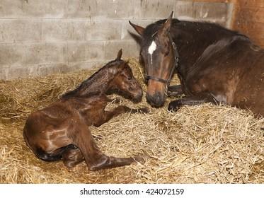 eine braune Stute kurz nach der Geburt mit ihrem Fohlen in einer Pferdekiste