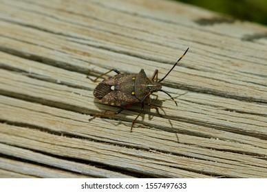Brown Marmorated Stink Bug (Halyomorpha halys) On Wooden Log