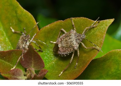 Brown marmorated stink bug (Halyomorpha halys) agricultural pest; italian cimice asiatica
