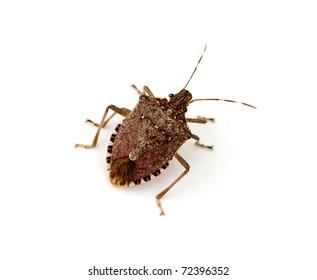 Brown Marmorated Stink Bug (Halyomorpha halys)