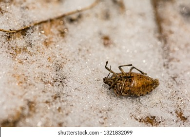 Brown Marmorated Stink Bug killed from the extreme cold during hibernation