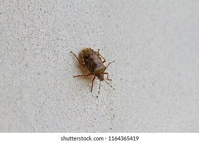 brown marmorated stink bug or shield bug Latin halyomorpha halys from the pentatomidae group of insects on a white wall in winter in Italy native to China but now a serious pest in Europe and the USA