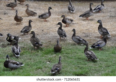 Brown migrating ducks waiting on grass field to leave on flight south in the fall in the American west