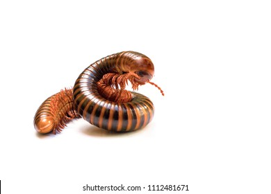 Brown millipede, millipede coiled isolated on white background. Selective focus and space for texts