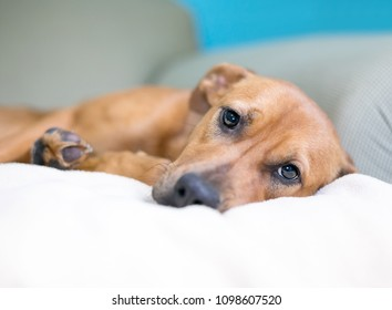 A brown mixed breed dog with a sad expression lying on a couch