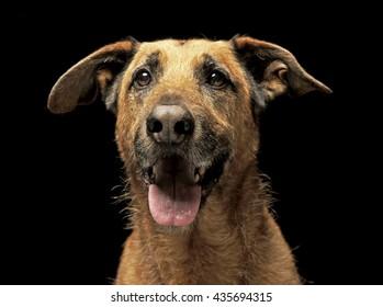 Brown mixed breed wired hair dog portrait in dark studio