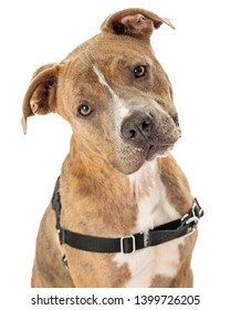 Brown mixed large breed dog wearing no-pull harness looking at camera with friendly loving expression
