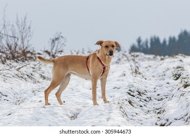 Brown mixed shelter dog in winter