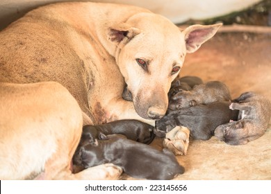 Brown mom and black puppies