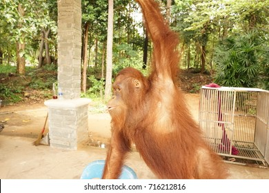 brown monkey dancing in the zoo with nature background