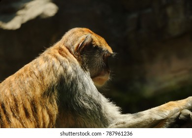 Brown Monkey at the zoo, Mexico