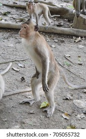Brown monkey,Temple of the forest,Rayong,thailand,blur background.