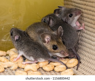 A brown mother house mouse, Mus musculus, with her smaller gray offspring, trapped and cowering in the corner of a pantry kitchen cabinet. They are nestled in a pile of loose cereal.
