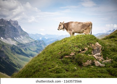 Brown mountain cows grazing on an alpine pasture in the Bernese Alps in summer. Grindelwald, Jungfrau region, Bernese Oberland, Switzerland