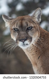 A brown mountain lion snarls and looks intimidating while looking directly at the camera during winter, with trees in the background