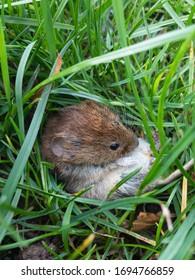 Braune Maus auf grünem Gras