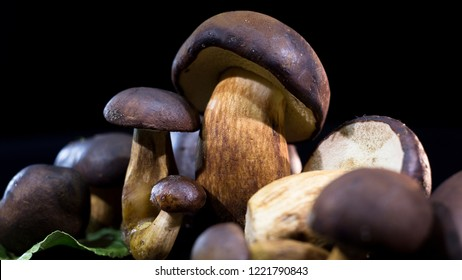 Brown mushrooms on a black background.  Boletus badius. Boletus brown