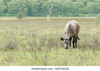 A brown new forest cow grazes in the New Forest National Park