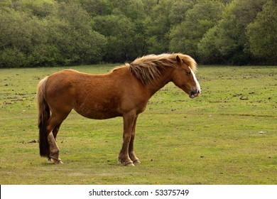 A brown New Forest Pony in profile against a backdrop of green grass and trees