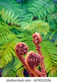 Brown new growth fronds, ready to unfurl, inf front of mature silver ferns, at Ship's Cove, New Zealand. The spiral koru is a potent symbol in Maori art signifying rebirth, peace and strength