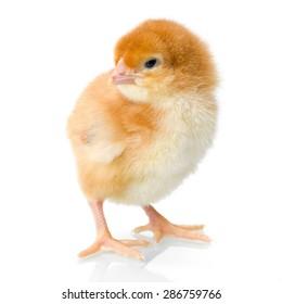 Brown newborn chicken on reflective white background
