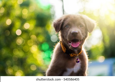 Brown nova scotia duck tolling retriever puppy dog in the yard against bokeh background and sunset light