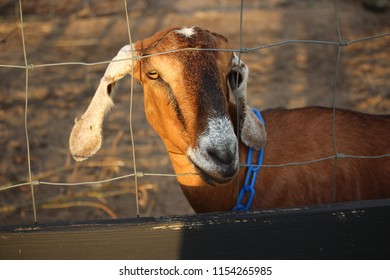 Brown Nubian Dairy Goat