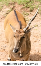 Brown one horn impala  close up