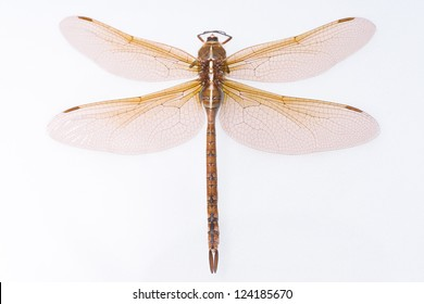 Brown and orange dragonfly isolated