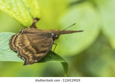 Brown and orange striped butterfly