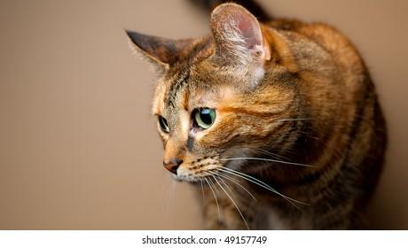 Brown and orange tabby cat against plain background. Feline on the prowl or hunting behavior.