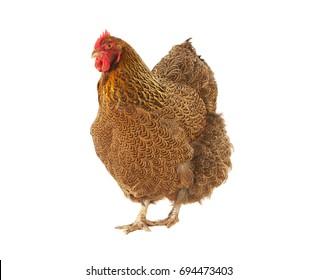 braunes orpington Huhn auf weißem Hintergrund
