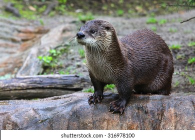 Brown otter looking away from the camera.