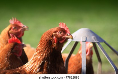 Brown outdoor free-range hens set on a landscape format next to a tin feeder. Room for copy around image.