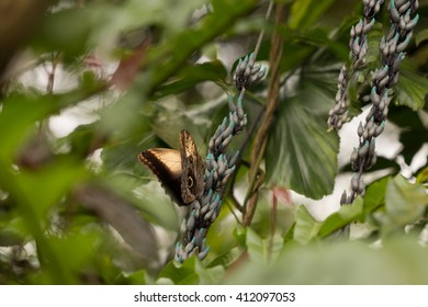 brown owl blue morpho butterfly sitting in the tropical environment