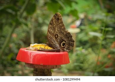 Bộ sưu tập cánh vẩy 6 - Page 2 Brown-owl-butterfly-caligo-martia-260nw-1081299494