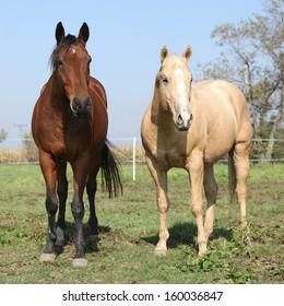 Brown and palomino horses looking at you on pasturage