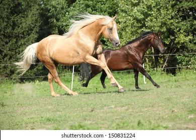 Brown and palomino stallions running on pasturage in summer